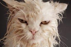 Wet cat. After a bath Stock Images