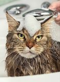 Wet cat in the bath. Cat bath. Wet cat with foam on the head Stock Photo