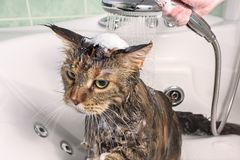 Wet cat in the bath. Cat bath. Wet cat. Girl washes cat in the bath Stock Images