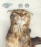 Wet cat in the bath Stock Photography