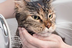 Wet cat in the bath. Funny cat. Wet cat. Girl washes cat in the bath Stock Images