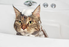 Wet cat in the bath. Funny cat Maine Coon. Peeping Cat on white background stock photography
