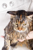 Wet cat in the bath Royalty Free Stock Image