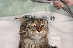 Wet cat in the bath. Funny cat. Maine Coon stock photos