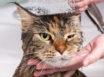 Wet cat in the bath. Wet cat with. Muzzle of wet cat in the bathroom Stock Images