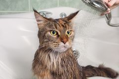 Wet cat in the bath. Wet cat. Bathing a cat in a bathtub Stock Photo