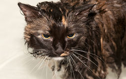 Wet cat in bathtub. A wet cat in a bathtub, looking unhappy Royalty Free Stock Photo