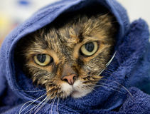 Wet cat on a blue towel. A sad and angry looking wet cat wrapped on a blue towel Stock Photography