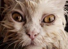 Wet cat. Closeup of a wet cat Stock Image