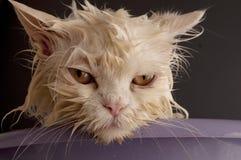 Wet cat. Having a bath stock images