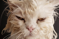 Wet cat. Having a bath Royalty Free Stock Image