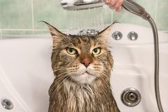 Wet cat in the bath. Wet cat. Muzzle of wet cat in the bathroom royalty free stock photos