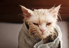 Wet cat. Ugly wet kitty after a bath Stock Photo