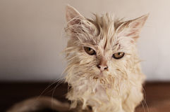 Wet cat. Wet white Persian cat looking at camera Royalty Free Stock Image