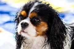 Wet Cavalier king purebreed Royalty Free Stock Photos
