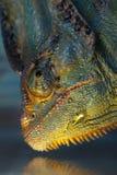 Wet Chameleon Stock Photo
