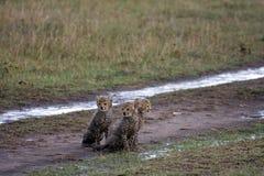 Wet cheetah Stock Photos
