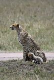 Wet cheetah Stock Images