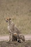 Wet cheetah Royalty Free Stock Image