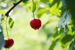 Wet cherries Royalty Free Stock Photo