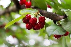 Wet cherry cluster stock image