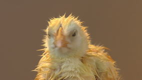 Wet chick peeping stock video footage