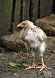 Wet chicken. Chicken, wet after the rain, standing on a background of stones and fence Royalty Free Stock Photography