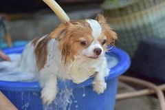 Wet Chihuahua dog in bathtub Stock Image