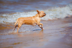Wet chihuahua dog on the beach Royalty Free Stock Images
