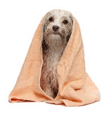 Wet chocolate havanese dog after bath Royalty Free Stock Photo