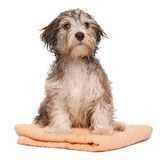 Wet chocolate havanese puppy after bath Stock Photography