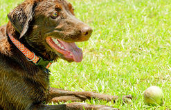Wet Chocolate Lab in park with tennis ball. Chocolate Lab standing in wet, muddy park lying down with a tennis ball Stock Image