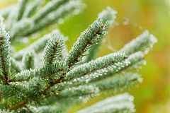 Wet Christmas tree branches Royalty Free Stock Photo