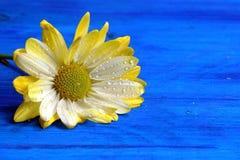 Wet Chrysanthemum Stock Photo
