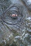 Wet clean elephant eye and head Stock Photos