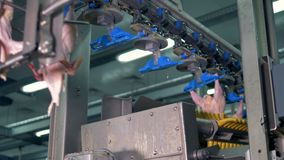 Trussed chicken bodies pass the processing equipment. stock video footage
