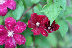 Wet clematis flowers Royalty Free Stock Photo