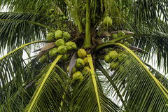 Wet Coconut Tree Royalty Free Stock Image