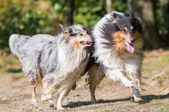 Wet collie dogs running lakeside Royalty Free Stock Photo