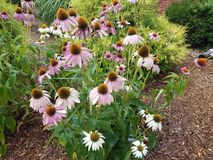 Wet cone flowers with white and pink petals. Some wet cone flowers with white and pink petals Stock Images