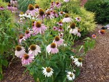 Wet cone flowers with white and pink petals. Some wet cone flowers with white and pink petals Stock Photography