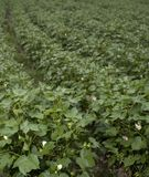 Wet cotton field Royalty Free Stock Photo