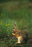 Wet Cottontail Rabbit. A cottontail rabbit cleaning its paws wet from a recent rain Royalty Free Stock Photography