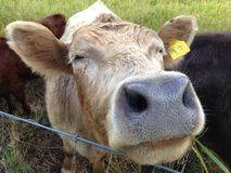 Wet cow nose Stock Image