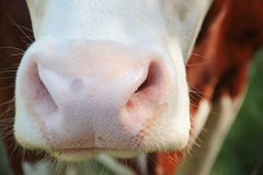 Wet cow nose close up Stock Photography