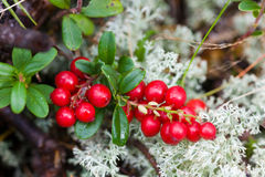 Wet cowberry Royalty Free Stock Photography