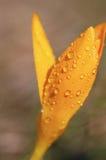 Wet crocus Stock Image
