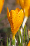 Wet crocus Royalty Free Stock Images