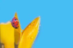 Wet crocus with Ladybug Stock Images