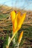 Wet crocus with Ladybug Stock Image